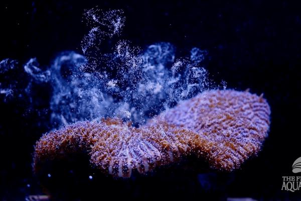 corallo atlantico